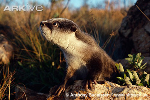 African Clawless Otter from ARKive Engandered Species Nature Documentaries